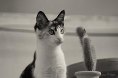fatal attraction (susodediego ) Tags: cactus bw cat chat bn gato katze gatto soe autofocus lúa кошка γάτα thegalaxy nikkor70200f28vr frameit nikond300 gününeniyisi bestcapturesaoi mygearandme ringexcellence blinkagain flickrstruereflection1 rememberthatmomentlevel1 magicmomentsinyourlife bwvivalavida vigilantphotographersunite