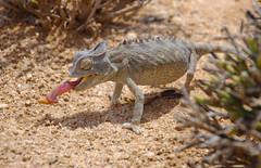 Chameleon (CarolineG2011) Tags: tongue desert feeding chameleon namibia swakopmund
