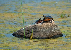 Soaking up the Sun (imageClear) Tags: wild two sun hot nature water beauty animal rock wisconsin photography march photo pond nikon warm flickr shot image turtle reptile painted sunny chillin telephoto cattails swamp perch capture ponds warming photostream horicon naturephotography sunning animalphotography paintedturtles horiconmarsh d7000 imageclear 80400afs