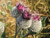 Thistle (Inatil) Tags: coth fantasticnature virtualjourney