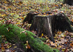 Stub in the forest. Sigulda, nature (Dmitry Kaminsky) Tags: wood old travel autumn orange cloud mountain tree history tourism nature beauty grass leaves forest season landscape moss log bush europe branch place outdoor timber famous stock sightseeing culture greenwood ground scene baltic medieval latvia beam countries cover abroad stump trunk environment stick coastline block juggle shrub piece moor limb stub turf cloudscape sights arranging sigulda turaida balk turfgrass
