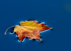 Afloat (Karen_Chappell) Tags: park blue autumn orange fall nature water one leaf pond floating tpc bowringpark surfacetension tpcu2 tpcu2l2