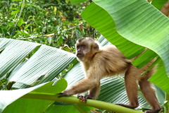 Macaco (Jakza) Tags: jakza macaco animalmatogrossodosul folha bananeira tufototureto frenteafrente sweep gamesweep