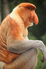 Male Proboscis Monkey (Nasalis larvatus) sitting profile, Labuk Bay, Sabah, Malaysia (Damon Tighe) Tags: male animal monkey bay asia southeastasia wildlife south east malaysia borneo primate sabah animalia mammalia proboscis primates proboscismonkey chordata nasique labuk cercopithecidae nasalislarvatus taxonomy:kingdom=animalia taxonomy:class=mammalia taxonomy:phylum=chordata nasalis larvatus mononarigudo longnosedmonkey  taxonomy:order=primates taxonomy:family=cercopithecidae taxonomy:binomial=nasalislarvatus taxonomy:species=larvatus taxonomy:genus=nasalis taxonomy:common=proboscismonkey taxonomy:common=longnosedmonkey taxonomy:common=nasique taxonomy:common=mononarigudo