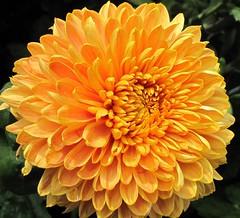 (Cher12861) Tags: autumn flower nature beauty yellow gold illinois mum chrysanthemum fallflower oakparkconservatory vision:plant=088 vision:flower=0944
