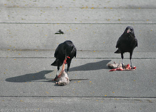 Crows Eating Rats #3878