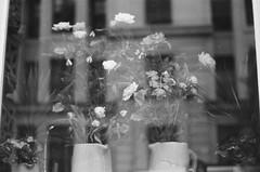 Bruegel (LA-BENE) Tags: flowers white black london pentax bruegel