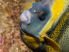 Cortez angelfish (altsaint) Tags: underwater panasonic angelfish 45mm seaofcortez m43 gf1