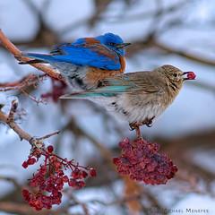 Frosty Blue Love (Fort Photo) Tags: winter bird nature birds animal nikon colorado berries wildlife