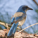 "Scrub Jay<br /><span style=""font-size:0.8em;"">Taken in Brevard County, Florida.<br />The Scrub Jay is an endangered specie that is found only in areas of Florida.</span> • <a style=""font-size:0.8em;"" href=""http://www.flickr.com/photos/18570447@N02/11587296663/"" target=""_blank"">View on Flickr</a>"