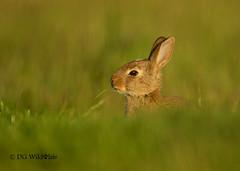 Cool Little Rabbit (DG Wildlife) Tags: cute rabbit bunny nature grass animals easter funny little wildlife young meadow mammals bladeofgrass lowangle funnyanimals cuteanimals animalbehaviour wildrabbit wildlifephotography youngrabbit wildlifeuk dgwildlife daliakvedaraite