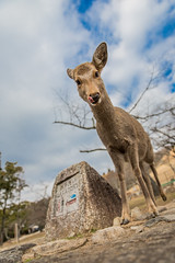 Deer of Nara - Japan (lucien_muller) Tags: travel wild nature animals japan canon wildlife deer nara  markiii naraken canon5dmarkiii 5dmarkiii deercrackers