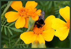 Bumblebee collect pollen (Scratchblack) Tags: flowers summer color nature beautiful animal yellow insect colorful pretty little sweden bumblebee uppsala blommor insekt collecting vackra sommar humla smkryp frggranna frgstarka