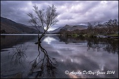 Tree in Llyn Padarn (angeladj1) Tags: lake mountains northwales llynpadarn lonwtree