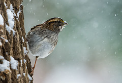 Sparrow on a cold snowy day (mirage_4) Tags: winter snow cold tree bird nature birds wildlife sparrow