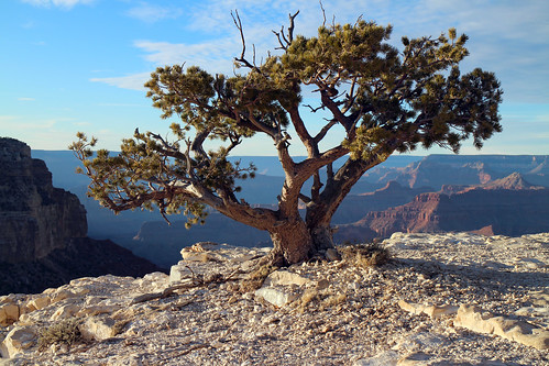 From flickr.com: Water-thrifty .Bonsai. Tree Along the Grand Canyon Rim 8025 {MID-172005}