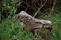 Pig Akua (Emily Miller Kauai) Tags: park tree hawaii pig state stump kauai akua kokee