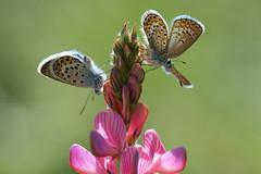 Plebeius argus (Silver-studded Blue, heideblauwtje) (Rob Blanken) Tags: butterflies silverstuddedblue plebeiusargus heideblauwtje afsmicronikkor105mm128ged nikond7000