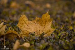 Autunno (Gito Trevisan) Tags: autumn deadleaves autunno fallenleaves fogliemorte