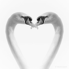 Swan Heart (Martzimages) Tags: blackandwhite love monochrome mono blackwhite swan heart symmetry highkey swanheart martzimages
