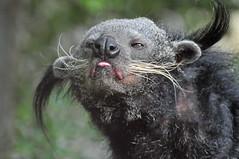 Binturong im Zoo de Pont-Scorff (Ulli J.) Tags: france zoo frankreich brittany bretagne morbihan bearcat binturong marderbr pontscorff paysdelorient