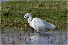 Little Egret - fishing (Explored) (Smudge 9000) Tags: uk winter england birds kent unitedkingdom reserve egret 2014 littleegret rspb nnr sheppy elmley
