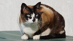 Lisa (No_Water) Tags: sun cat snowshoe lisa siam