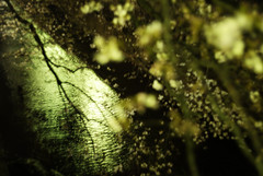 140329 (YOUANDMEORUS) Tags: leica flower reflection night spring m8 cherryblossom leitz oldlens