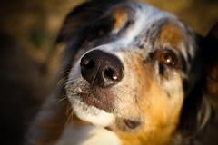 304/365 Cap (BlueDog_1199) Tags: blue dog canon puppy shepherd australian days cap captain 7d 365 aussie australianshepherd merle