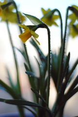 Daffodil (MegsPhotosUK) Tags: life flowers mist plant flower green nature water leaves yellow easter 50mm droplets leaf nikon houseplant drop petal daffodil bunch feed waterdroplets daffodils bunchofflowers watered d3000