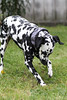 Voller Begeisterung buddeln (blumenbiene) Tags: dog dogs female hund dig dalmatian hunde dalmatiner excavate hündin buddeln
