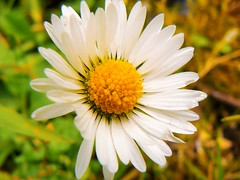 daisies3 (3) (csewellpics) Tags: white plant flower yellow daisies garden scotland petals weed stirling daisy pollen alloa blairlogie