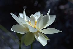 Lotus_MG_0113-p (918monty) Tags: dallas texas lotus dallasarboretum whiteflowers lotusblossom nelumbonucifera aquaticflower flowersgroup acquaticplant madaboutflowers