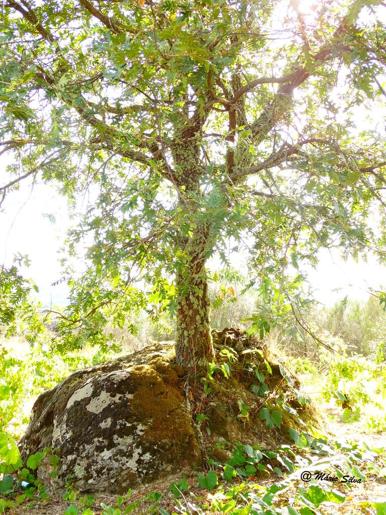 Águas Frias (Chaves) - ... carvalho que teimou em crescer no meio da fraga ...