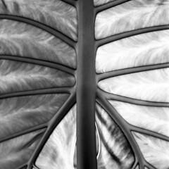 Ribs (Baisao) Tags: blackandwhite bw plant 6x6 tlr film nature mediumformat breath squareformat ribs vintagecamera elephantear lungs 1951 philodendron trachea ilfordfp4 293 pulmonary pyrocathd ei160 rolleiflexautomat6x6modelk4a rolleinarii 3575mmtessar wnwmf 3575mmtessartwinslensreflex rolleiflexmxmodel2