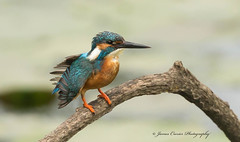 Kingfisher  .... Explore 21-2-17 # 70 (Jim Crozier) Tags: kingfisher riverlagan canoneos1dx canon300mmf28l2xiii