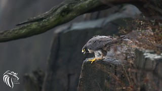 Peregrine Falcons of Alpine | 2107 - 11