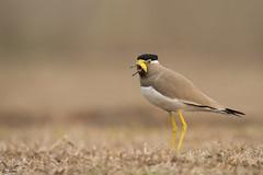 Lapwing call (nomane172) Tags: yellowwattledlapwing lapwing bird animal outdoor wildlife nature wildlifephotography naturephotography birdsofbangladesh dhaka bangladesh nikon nikond500 d500 tamron tamron150600mm 150600mm ngc lapwingcall calloflapwing