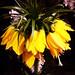 094/365 #365DaysChallenge En attendant les petites clochettes blanches de mai...