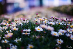 MAGICAL FLOWERS (carlos.odeh) Tags: flowers d810 nikon 50mm f14 bokeh