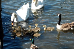 A Watchful Eye (Ian R. Simpson) Tags: swans goose mallard duck wildfowl cygnets lakewindermere windermere bownessbay bowness lakedistrict cumbria england water lake