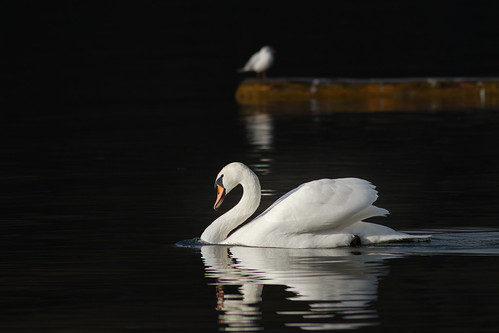 Swan on dark Lake