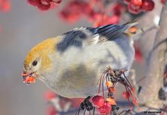 Durbec des sapins femelle (Marie-Josée Lévesque) Tags: oiseau bird ornithologie durbecdessapins faune wildlife berries pinegrosbeak nature québec canada explore