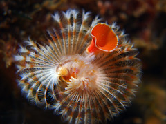 Polychaete Worm (NirupamNigam) Tags: underwater worm southerncalifornia channelislands anacapa californiadiving polychaeteworm northernchannelislands