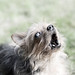 Margaret barking at nothing! by margaretsdad, on Flickr