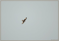 Red Kite over the house (bobspicturebox) Tags: flowers trees red kite nature robin birds clouds geese ducklings starling sparrow poppies rowan nuthatch greylag gosslings migies
