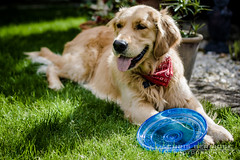 ziggy and his new frisby (Chris B 1000D) Tags: birthday old chris 2 portrait dog pet cute field grass cat canon garden puppy happy photography golden poser friend f14 year adorable posing sunny retriever 2nd niece presents jess second fixed pup 50 depth bandanna herbie ziggys berridge