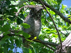 Great Horned Owl (KiwiHugger) Tags: greathornedowl