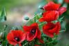 431 - P O P P Y   B L O O M (ArvinderSP) Tags: flowers red 2 nature closeup petals spring nikon poppy buds blooms pods 431 explored d3100 arvindersp arvinderspcom