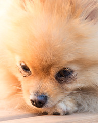 Bear (V8mac) Tags: bear dog canada britishcolumbia pomeranian fernie